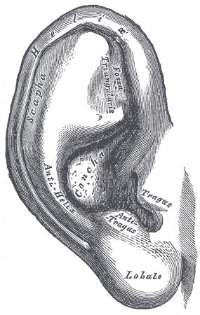 Anatomie der Ohrmuschel